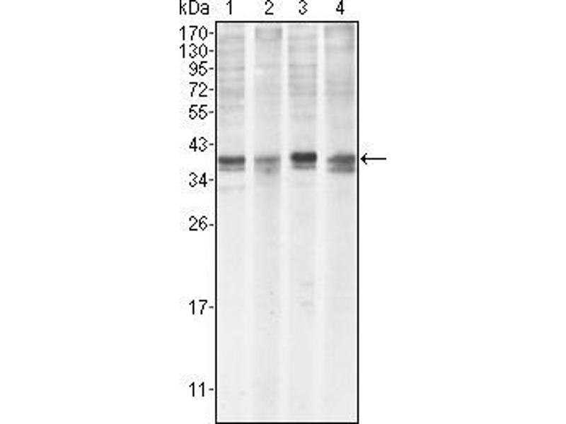 Western Blotting (WB) image for anti-MCL-1 antibody (Induced Myeloid Leukemia Cell Differentiation Protein Mcl-1) (ABIN969485)