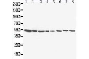 Image no. 3 for anti-Hydroxysteroid (17-Beta) Dehydrogenase 4 (HSD17B4) (AA 744-761), (C-Term) antibody (ABIN3044284)