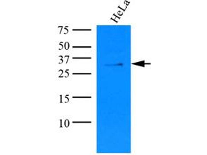 Western Blotting (WB) image for anti-Potassium Channel Tetramerisation Domain Containing 15 (KCTD15) (AA 1-234), (N-Term) antibody (ABIN487356)