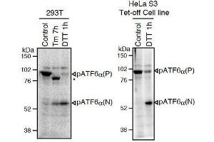 Image no. 1 for anti-Activating Transcription Factor 6 (ATF6) (N-Term) antibody (ABIN2451924)