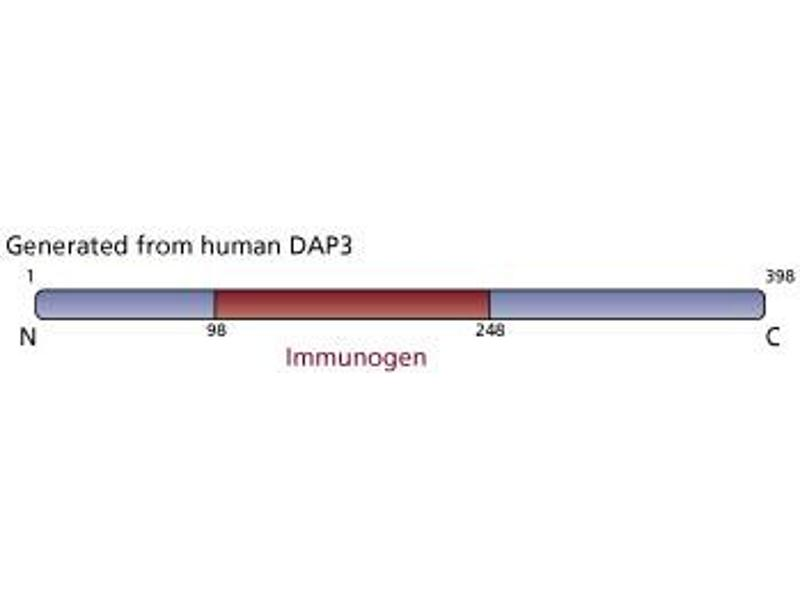 image for anti-DAP3 antibody (Death-Associated Protein 3) (AA 98-248) (ABIN968095)