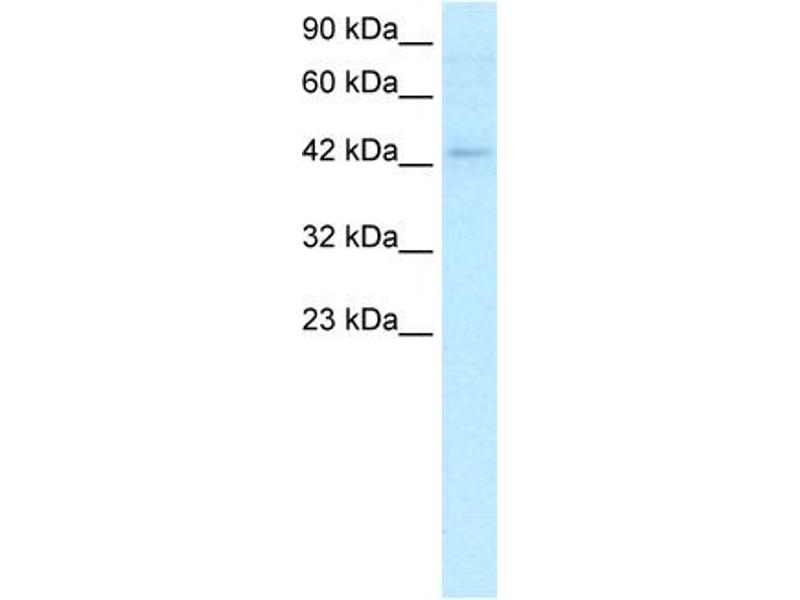 Western Blotting (WB) image for anti-LEF1 antibody (Lymphoid Enhancer-Binding Factor 1) (C-Term) (ABIN2779620)