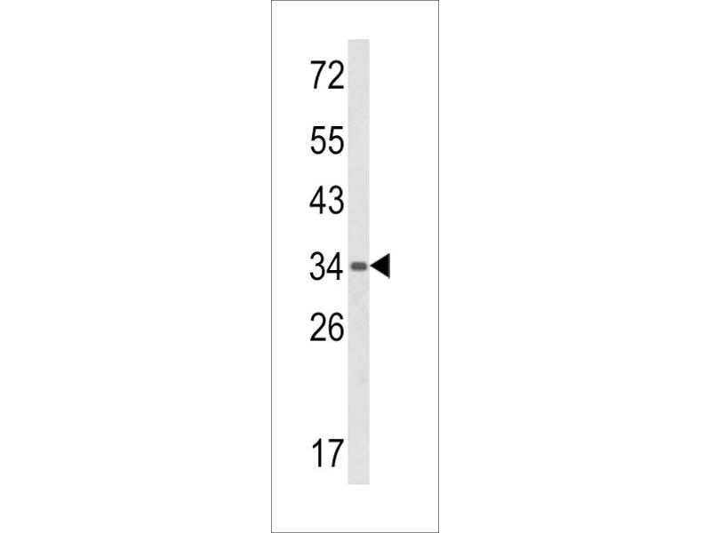 Image no. 1 for anti-G Patch Domain and Ankyrin Repeats 1 (GPANK1) (AA 275-302), (C-Term) antibody (ABIN5535770)