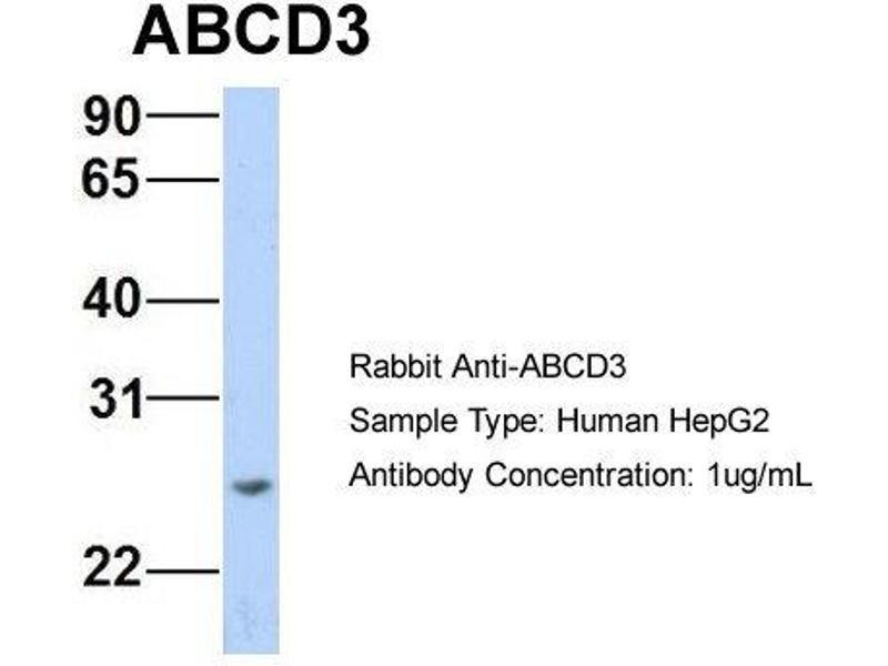 Image no. 3 for anti-Chemokine (C-X3-C Motif) Ligand 1 (CX3CL1) (N-Term) antibody (ABIN2781504)