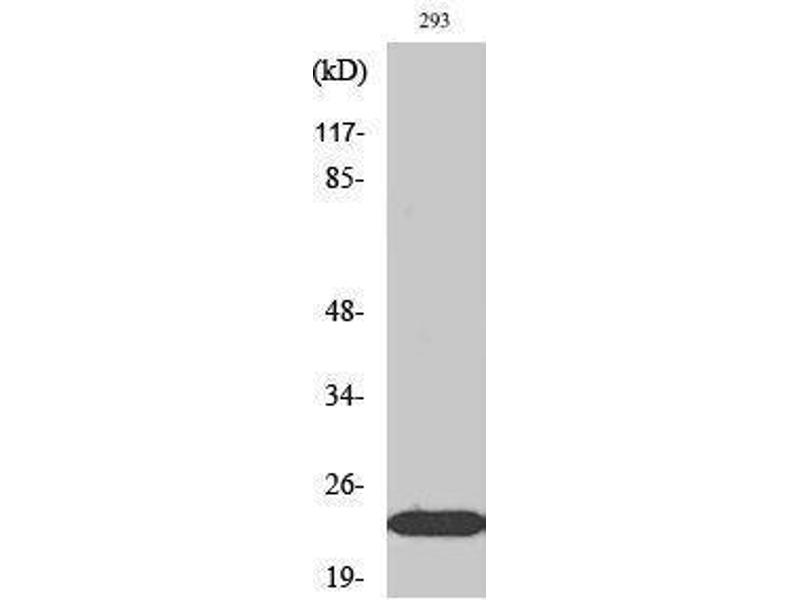 Western Blotting (WB) image for anti-Ephrin A1 (EFNA1) (Internal Region) antibody (ABIN3184514)