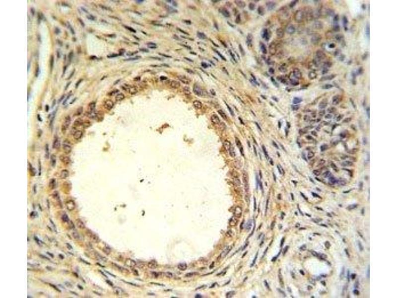 Immunohistochemistry (IHC) image for anti-Anti-Mullerian Hormone (AMH) (AA 424-451) antibody (ABIN3029981)