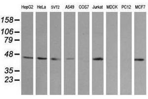 image for anti-Mitogen-Activated Protein Kinase Kinase 2 (MAP2K2) antibody (ABIN1499478)