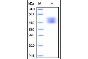 Image no. 2 for CD80 (CD80) (AA 35-242) protein (His tag) (ABIN2180839)
