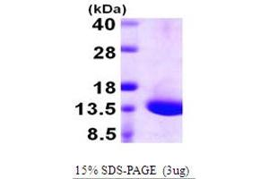 Image no. 1 for Dynein, Light Chain, Tctex-Type 1 (DYNLT1) (AA 1-113) protein (His tag) (ABIN667437)