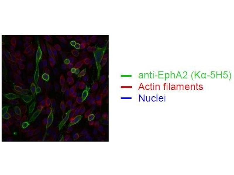 Immunofluorescence (IF) image for anti-EPH Receptor A2 (EPHA2) antibody (ABIN179724)
