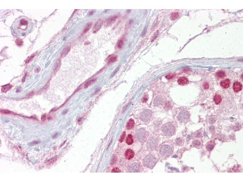 Immunohistochemistry (IHC) image for anti-WNT2B antibody (Wingless-Type MMTV Integration Site Family, Member 2B) (Middle Region) (ABIN2776710)