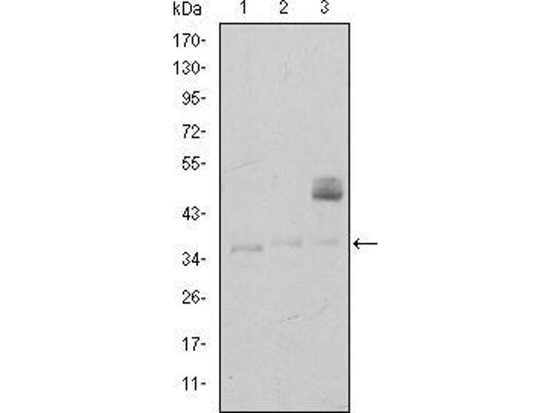 Western Blotting (WB) image for anti-CD1a Molecule (CD1A) antibody (ABIN969017)