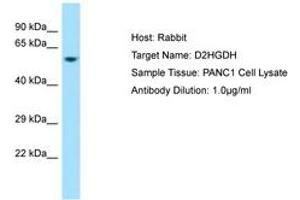Image no. 1 for anti-D-2-Hydroxyglutarate Dehydrogenase (D2HGDH) (AA 332-381) antibody (ABIN6750028)