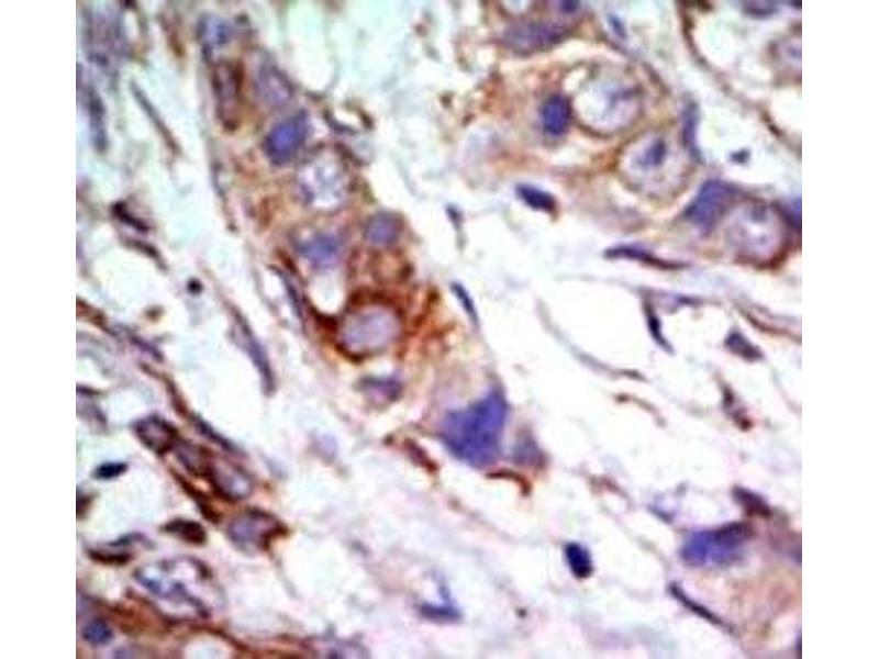 Immunohistochemistry (IHC) image for anti-MAPK7 antibody (Mitogen-Activated Protein Kinase 7) (AA 776-805) (ABIN3031834)