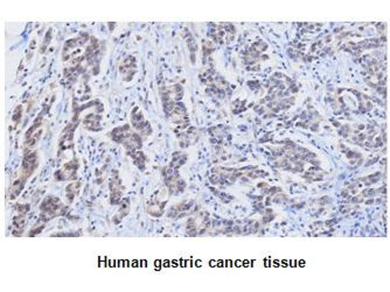 Immunohistochemistry (IHC) image for anti-Retinol Binding Protein 4, Plasma (RBP4) (AA 19-201) antibody (ABIN356230)
