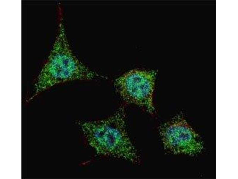 Immunofluorescence (IF) image for anti-BCL2-Associated Agonist of Cell Death (BAD) (pSer99) antibody (ABIN3030130)