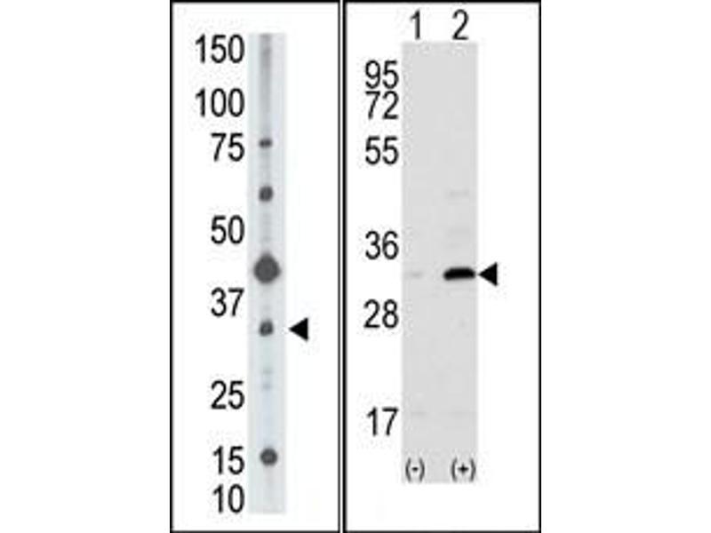 image for anti-CD82 Antikörper (CD82 Molecule) (C-Term) (ABIN358740)