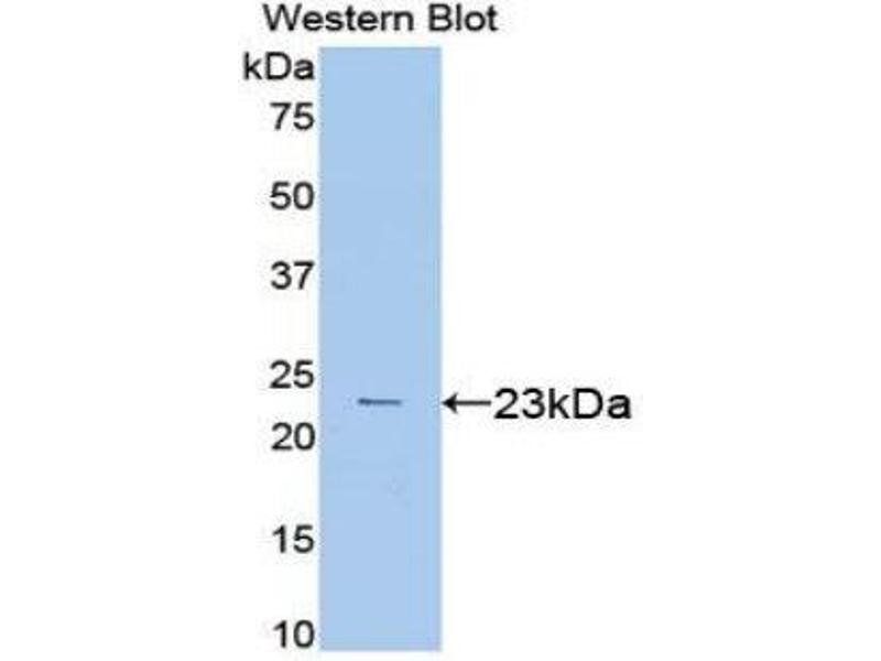 Western Blotting (WB) image for anti-Vascular Endothelial Growth Factor A (VEGFA) (AA 27-190) antibody (ABIN1078647)