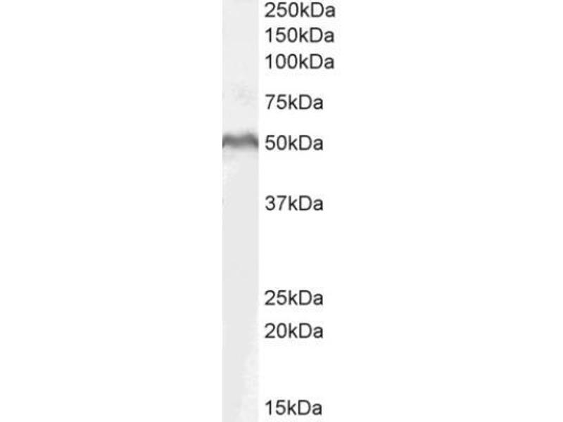 Western Blotting (WB) image for anti-Lymphoid Enhancer-Binding Factor 1 (LEF1) antibody (ABIN188546)