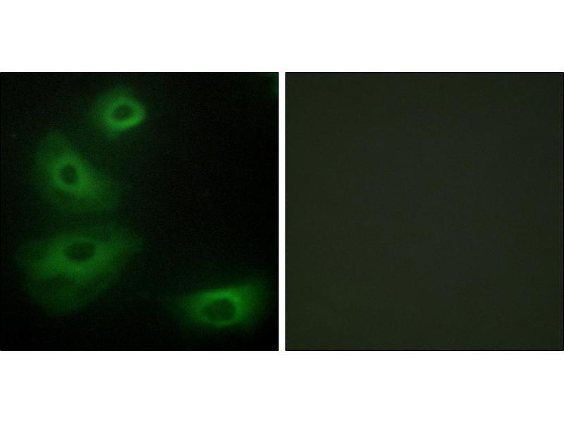 Immunofluorescence (IF) image for anti-5HT1B Receptor antibody (Serotonin Receptor 1B) (ABIN2440400)