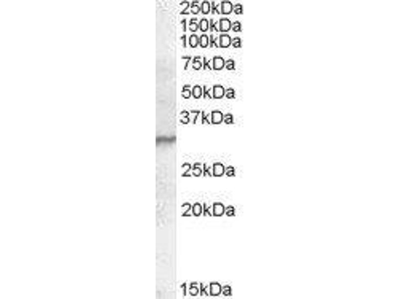 Western Blotting (WB) image for anti-Peptidoglycan Recognition Protein 1 (PGLYRP1) (C-Term) antibody (ABIN449729)