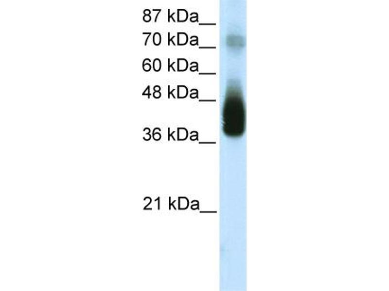 Western Blotting (WB) image for anti-C-JUN antibody (Jun Proto-Oncogene) (N-Term) (ABIN2774668)