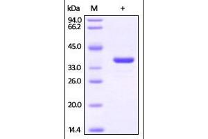 Image no. 1 for Glyceraldehyde-3-Phosphate Dehydrogenase (GAPDH) (AA 2-335) protein (His tag) (ABIN2870641)