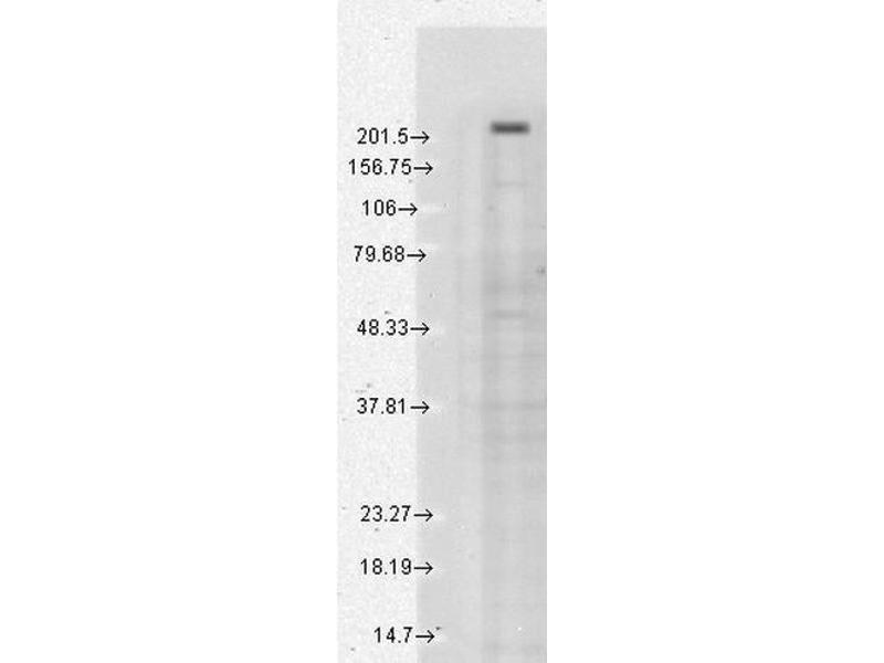 Image no. 2 for anti-Transient Receptor Potential Cation Channel, Subfamily M, Member 7 (TRPM7) (AA 1817-1863) antibody (Atto 655) (ABIN2483109)