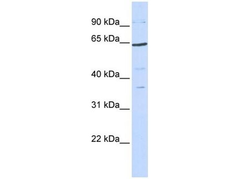 Western Blotting (WB) image for anti-TCF7L1 antibody (Transcription Factor 7-Like 1 (T-Cell Specific, HMG-Box)) (N-Term) (ABIN2779272)