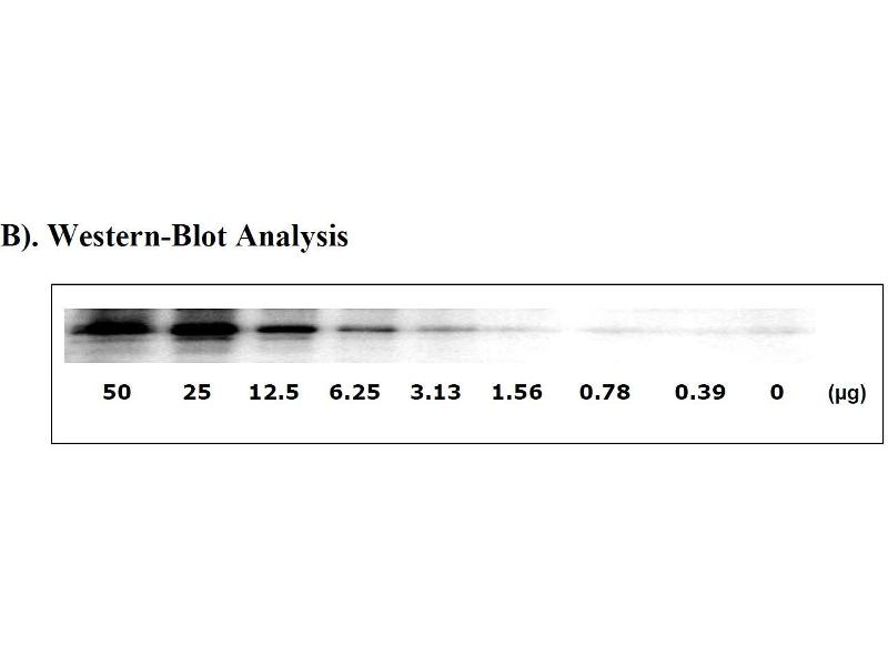 image for Signal Transducer and Activator of Transcription 3 (Acute-Phase Response Factor) (STAT3) ELISA Kit (ABIN625245)