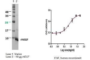 image for Epidermal Growth Factor (EGF) (Active) protein (ABIN413181)