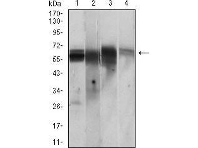 Western Blotting (WB) image for anti-CAMK2G antibody (Calcium/calmodulin-Dependent Protein Kinase II gamma) (AA 322-481) (ABIN2682978)
