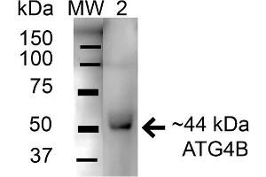 Image no. 2 for anti-Autophagy related 4B Cysteine Peptidase (ATG4B) (AA 62-73) antibody (HRP) (ABIN5066042)