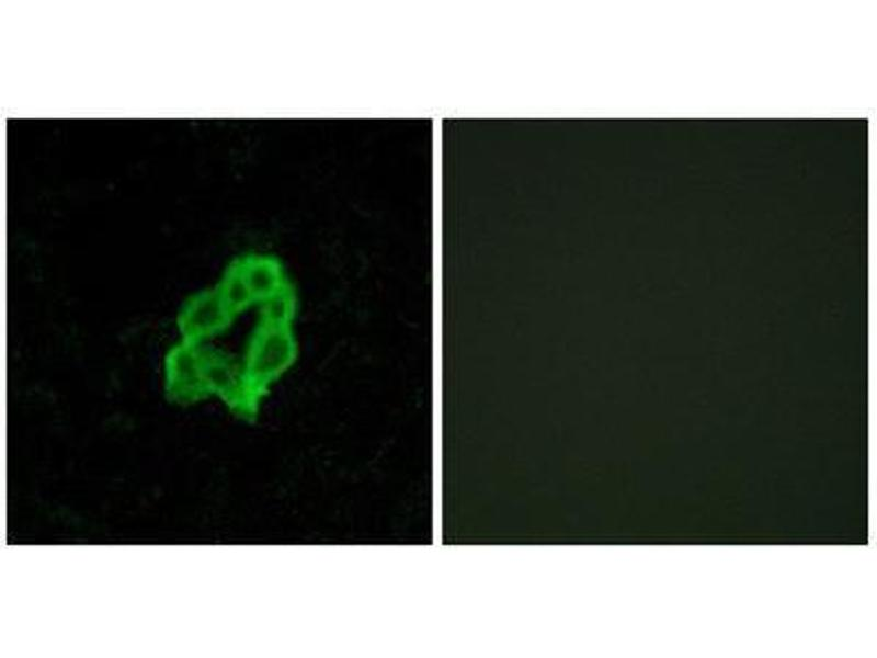Immunofluorescence (IF) image for anti-Brain-Specific Angiogenesis Inhibitor 1 (BAI1) (Internal Region) antibody (ABIN1852924)