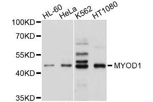 Image no. 2 for anti-Myogenic Differentiation 1 (MYOD1) antibody (ABIN1513236)