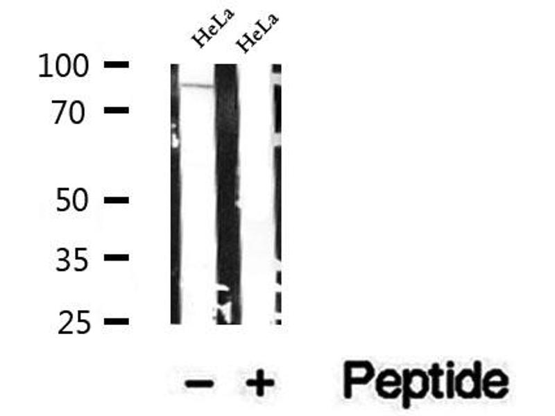 Western Blotting (WB) image for anti-Exocyst Complex Component 3 (EXOC3) antibody (ABIN6264960)