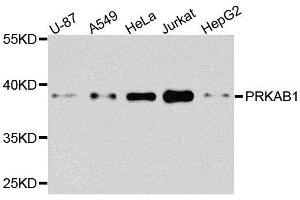 Image no. 1 for anti-Protein Kinase, AMP-Activated, beta 1 Non-Catalytic Subunit (PRKAB1) antibody (ABIN6146174)
