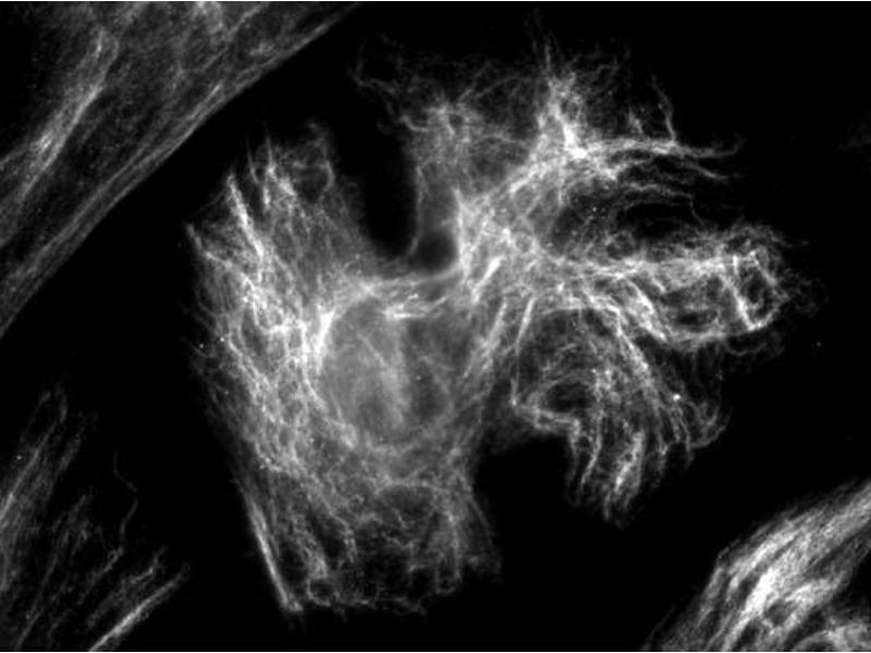 Immunocytochemistry (ICC) image for anti-Vimentin (VIM) antibody (ABIN1742360)