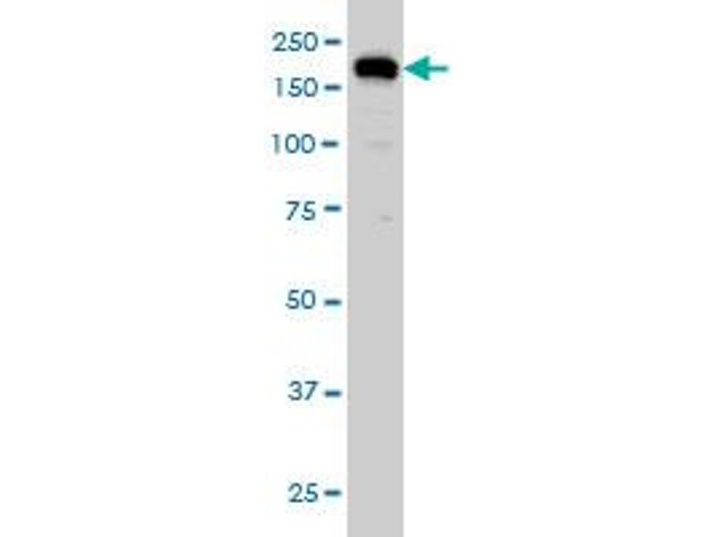 Western Blotting (WB) image for anti-Ubiquitin Specific Peptidase 47 (USP47) (AA 203-301) antibody (ABIN565811)