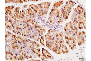Image no. 3 for anti-Angiotensin I Converting Enzyme 2 (ACE2) (AA 599-649) antibody (ABIN730798)