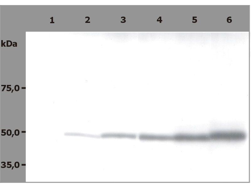 Image no. 2 for anti-Tubulin, beta (TUBB) antibody (ABIN93914)