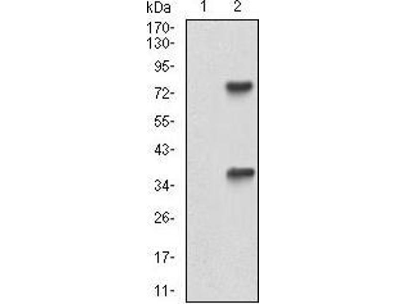 Western Blotting (WB) image for anti-TUBE1 antibody (Tubulin, epsilon 1) (AA 314-472) (ABIN5542399)
