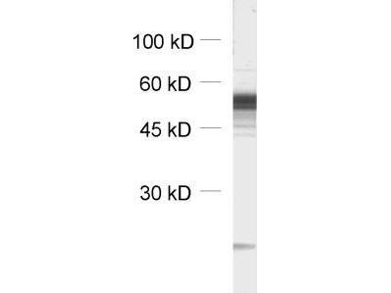 Western Blotting (WB) image for anti-gamma-aminobutyric Acid (GABA) A Receptor, beta 3 (GABRB3) (AA 344-429) antibody (ABIN1742465)