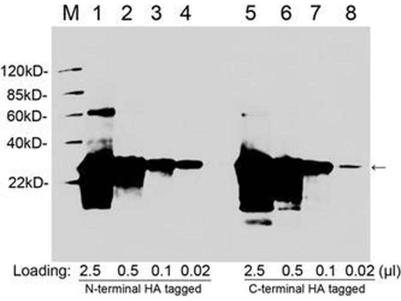 Image no. 2 for anti-HA-Tag antibody (ABIN1573873)