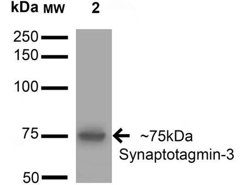 Western Blotting (WB) image for anti-Synaptotagmin III (SYT3) (AA 442-533) antibody (Atto 390) (ABIN2483631)