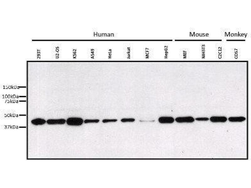 Western Blotting (WB) image for anti-Mitogen-Activated Protein Kinase 3 (MAPK3) antibody (ABIN4309389)