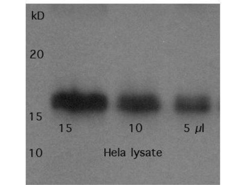 Western Blotting (WB) image for anti-Survivin antibody (BIRC5) (ABIN153009)