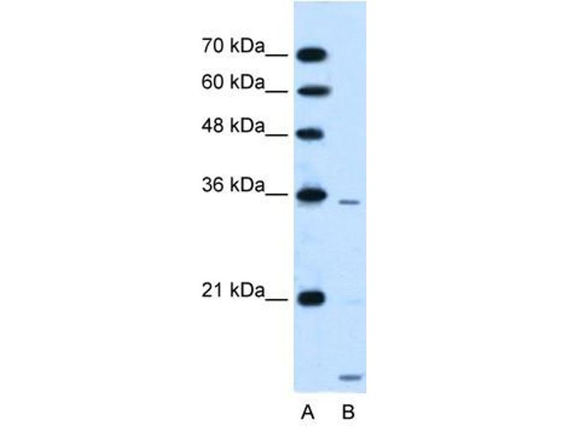 Image no. 2 for anti-Solute Carrier Family 25, Member 39 (SLC25A39) (C-Term) antibody (ABIN635082)