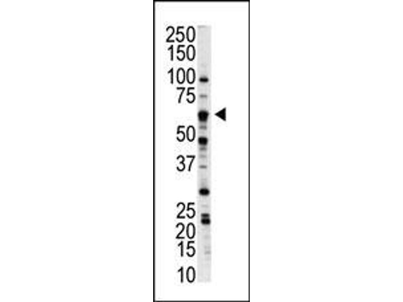 Western Blotting (WB) image for anti-Nemo-Like Kinase (NLK) (AA 406-436), (C-Term) antibody (ABIN391786)