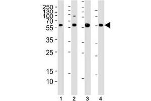 Image no. 5 for anti-SMAD, Mothers Against DPP Homolog 1 (SMAD1) (AA 163-196) antibody (ABIN3032610)